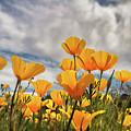 Poppies In The Wind Part Two  by Saija Lehtonen