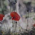 Poppies In Tuscany by Denise Nehila
