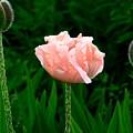 Poppy by Lamont Finnigan