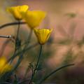 Poppies by Lori Figueroa