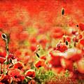 Poppies by Meirion Matthias