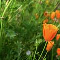 Poppies by Misty Tienken