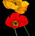 Poppies On Black by Lynn Andrews