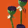 Poppies On Orange by Lisa Knechtel