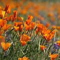 Poppies by Patrick Witz