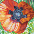 Poppies by Roger Grammond
