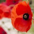 Poppies by Sebastien Coell