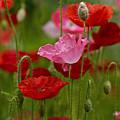 Poppies by Susan Garver