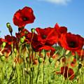 Poppies by Svetlana Sewell