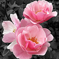 Popping Pink Roses by Amy Fose