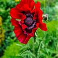 Poppy by Adrian Evans
