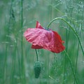 Poppy And Friend In The Grass by Barbara St Jean