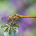 Poppy And The Dragonfly by Alex Hiemstra