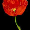 Poppy by Carol Blackhurst