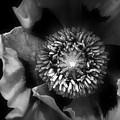 Poppy by Christine Lake
