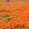 Poppy Field by Erin Donalson