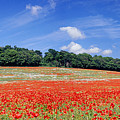 Poppy Field Panoramic View by Warren Photographic