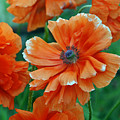 Poppy Fields by Angelina Vick