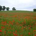 Poppy Fields In Suffolk by Rosemarie Perks