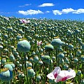 Poppy Fields Table Cape Tasmania by Paul Dal Sasso