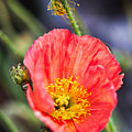 Poppy Flower by Fornalczyk Aleksandra