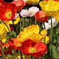 Poppy Flower Garden by Debi Dalio