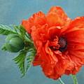 Poppy Flower by Manfred Lutzius