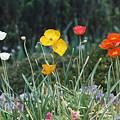 Poppy Flower Mix by Jamie Gray
