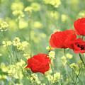 Poppy Flowers Spring Scene by Goce Risteski