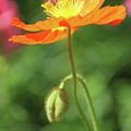Poppy Glow by Suzanne Gaff