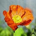 Poppy - Id 16235-142758-2720 by S Lurk