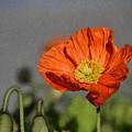 Poppy - Id 16235-142806-2801 by S Lurk