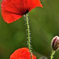 Poppy Image by Heiko Koehrer-Wagner
