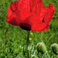 Poppy In Bloom by Roxy Hurtubise