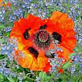 Poppy In Blue by Robert Meyers-Lussier