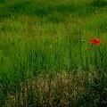 Poppy In The Field by Marija Djedovic