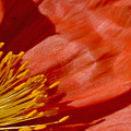 Poppy Love by S Lynn Lehman
