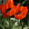 Poppy Pair by Tracey Vivar
