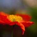 Poppy Resplendent by Mike Reid