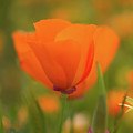 Poppy by Roger Mullenhour