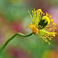 Poppy Seed Capsule by Kaye Menner