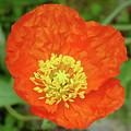 Poppy by Shirley Heyn