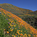 Poppy Superbloom On Hillside by Cliff Wassmann