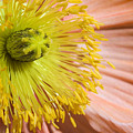 Poppy Whorls 1 by Jeannie Burleson