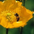 Poppy With Bee Friend by Laurie Paci