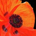 Poppy With Raindrops 2 by Gill Billington
