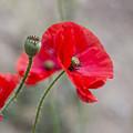 Poppys by Sebastien Coell