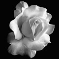 Porcelain Rose Flower Black And White by Jennie Marie Schell