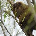 Porcupine Eating Leaves by Steve Somerville
