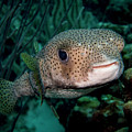 Porcupine Fish by Jean Noren